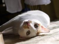 猫のお留守番 ミーくん編。 - ゆきねこ猫家族