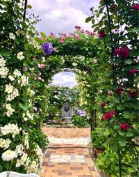 つるバラの誘引剪定♫ バリエガータ・ディ・ボローニャ♡ - 薪割りマコのバラの庭