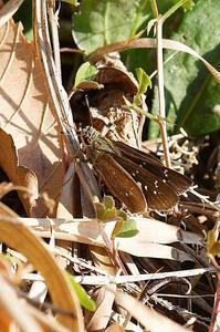 チャバネセセリまだ居ました - 続・蝶と自然の物語