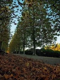 新宿御苑秋のプラタナス並木 - 風の香に誘われて 風景のふぉと缶
