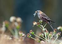ハギマシコの名前の由来は、腹部の赤紫斑が萩の花に似ているから - THE LIFE OF BIRDS ー 野鳥つれづれ記