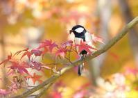 紅葉真っ盛りのS園 - 写真で綴る野鳥ごよみ