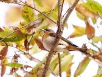 黄葉の中のアトリ - コーヒー党の野鳥と自然パート3