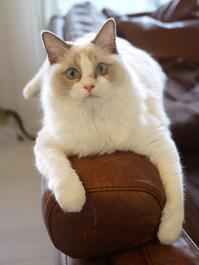 猫のお留守番 マロンちゃん編。 - ゆきねこ猫家族