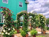 つるバラの誘引剪定♫ルイーズオディエ♡と紅天使♫ - 薪割りマコのバラの庭
