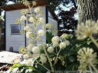 久しぶりの庭散歩宿根草の花と紅葉 - シンプルで心地いい暮らし