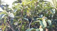 枇杷 (びわ)の花と、犬枇杷 (いぬびわ)の実 - 台町公園ブログ