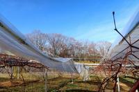 ビニール剥がし - ~葡萄と田舎時間~ 西田葡萄園のブログ