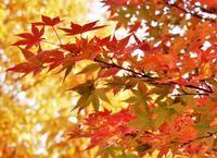 紅葉おさめ 🍁 the last maple leaves - ももさへづり*うた暦*Cent Chants d' une Chouette