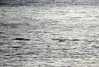 今シーズン初!ザトウクジラ - 三宅島風景2