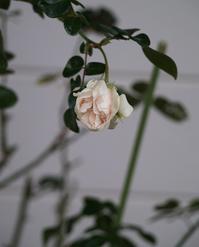 我が家の二人に花は咲くか? - hibariの巣