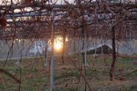 夕日 - ~葡萄と田舎時間~ 西田葡萄園のブログ