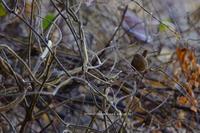 信越自然郷の鳥たち ミソサザイ - 野沢温泉とその周辺いろいろ2