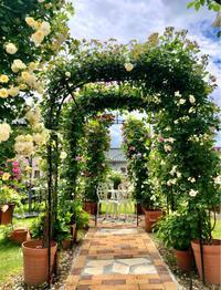 つるバラの誘引剪定♫フェリシア&ソンブロイユ♡ - 薪割りマコのバラの庭
