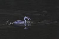 カンムリカイツブリの羽ばたき - 今日も鳥撮り