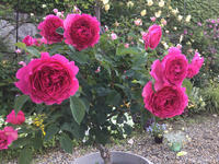 近所のホムセンのバラの仕入れの事 - バラやらナンやら