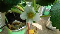 イチゴの花が咲き始めました - SEのための心理相談室