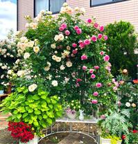 つるバラの誘引剪定♫ロココ&ルポールロマンティーク♡ - 薪割りマコのバラの庭