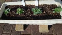 冬と春のボランティアプランター - ウィズ(ゼロ)コロナのうちの庭の備忘録~Green's Garden~