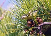 珍鳥「キバラガラ」が飛来          12月14日 - ヤソッチひだまり写真館