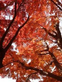 雑木林の紅葉。 - ひな日記