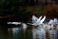 みちのく髙松白鳥たち5 - みちのくの大自然
