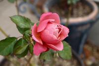 最後のバラ - my small garden~sugar plum~