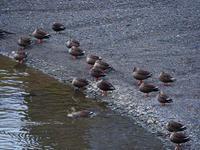 初冬の水鳥 - 飛騨山脈の自然