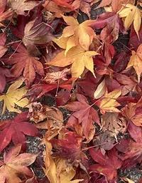 落ち葉とビオラとスワッグと - Kyoto Corgi Cafe