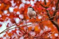 色づく葉っぱと小鳥ちゃん - やきとりブログ