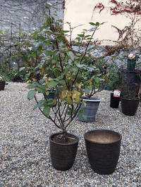 7号鉢から8号鉢へ植え替えたバラと空いた7号鉢に植え替えたバラ - バラやらナンやら