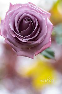 ふたご座流星群と薔薇オーシャンソング。 - MIRU'S PHOTO