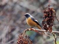 林道沿いのジョウビタキ♂ - コーヒー党の野鳥と自然パート3