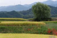 彼岸花散策~千早赤阪村 - katsuのヘタッピ風景