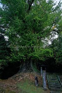滴水の銀杏-色付きの予感 - Mark.M.Watanabeの熊本撮影紀行