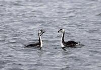 MFの沼で気になるカンムリカイツブリに逢いに - 私の鳥撮り散歩