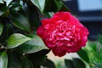 12月の庭の花 - ひな日記