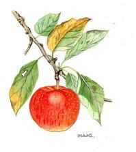 毎日リンゴ - がちゃぴん秀子の日記