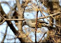 野幌森林公園の小鳥たち - 北海道photo一撮り旅