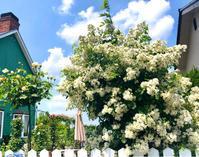 つるバラの誘引剪定♫ノイバラ♡と小鳥レストランのその後♫ - 薪割りマコのバラの庭