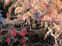 冬の赤い実:山茱萸と楷樹 - park diary