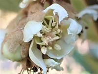 びわの花・ガガイモの種子 - 里山の四季