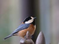 とても近かったヤマガラ - コーヒー党の野鳥と自然パート3