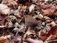 渓流沿いのミソサザイ - コーヒー党の野鳥と自然パート3