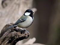 シジュウカラも近い近い - コーヒー党の野鳥と自然パート3