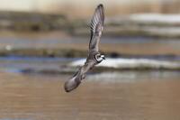 イカルチドリ飛出しと着地 - 気まぐれ野鳥写真