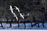 みちのく髙松白鳥たち9 - みちのくの大自然