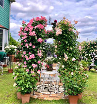 つるバラの誘引♫ロサオリ・プシュケ♡と危ないガーデンシクラメン(>人<;) - 薪割りマコのバラの庭