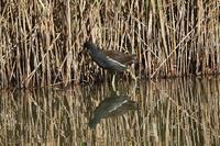 ■バン ほか水辺の鳥20.12.19(バン、クイナ、マガモ) - 舞岡公園の自然2