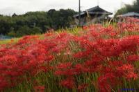 彼岸花散策~河内長野市 - katsuのヘタッピ風景